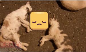 #إبادة_القطط_بالطائف ،ابادة القطط بالطائف